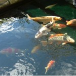 Les Koi Pond testimonial for ERIC pond filters