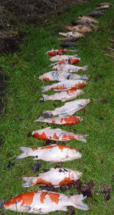 Forums gezondheid ziekten koi plat op de bodem om for Koi fish pond care in winter