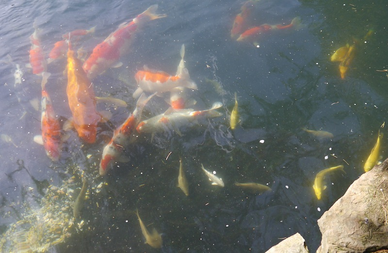 Koi swimming around in Peter Waddingtons Pond