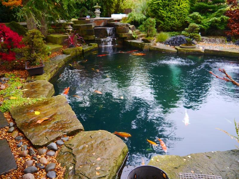 pond containing 142 Koi