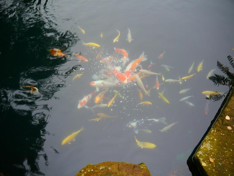 pond containing 142 Koi 1