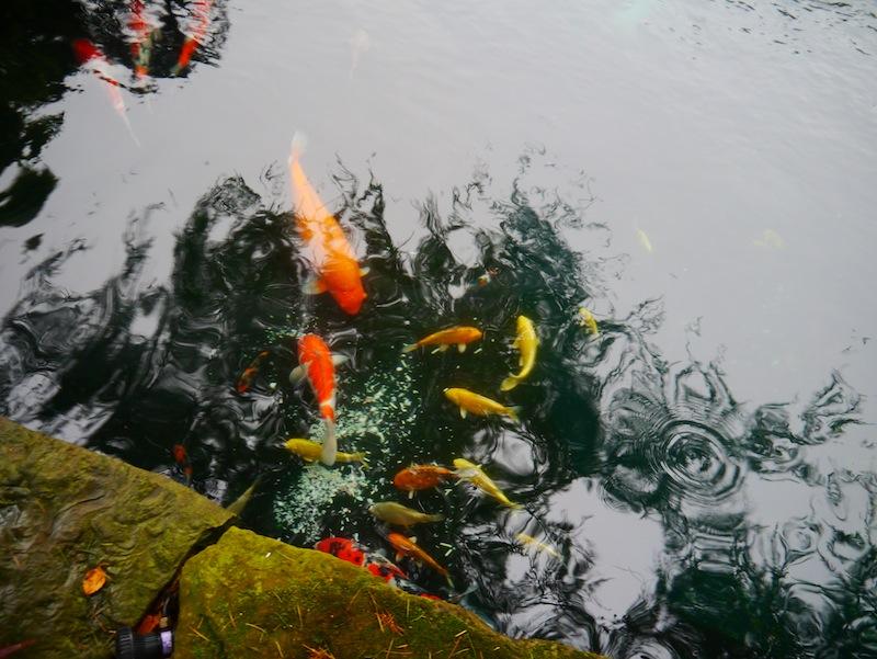 pond containing 142 Koi 2