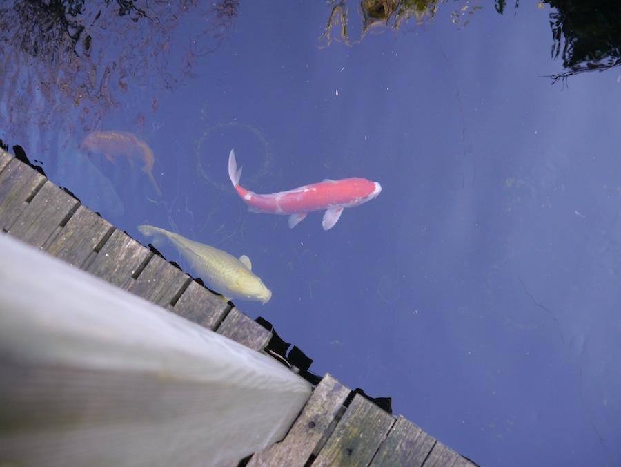 Kohaku with shimi in koi pond with decking next to the pond